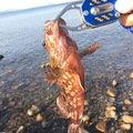 ゆうたさんの鹿児島県出水郡でのカサゴの釣果写真