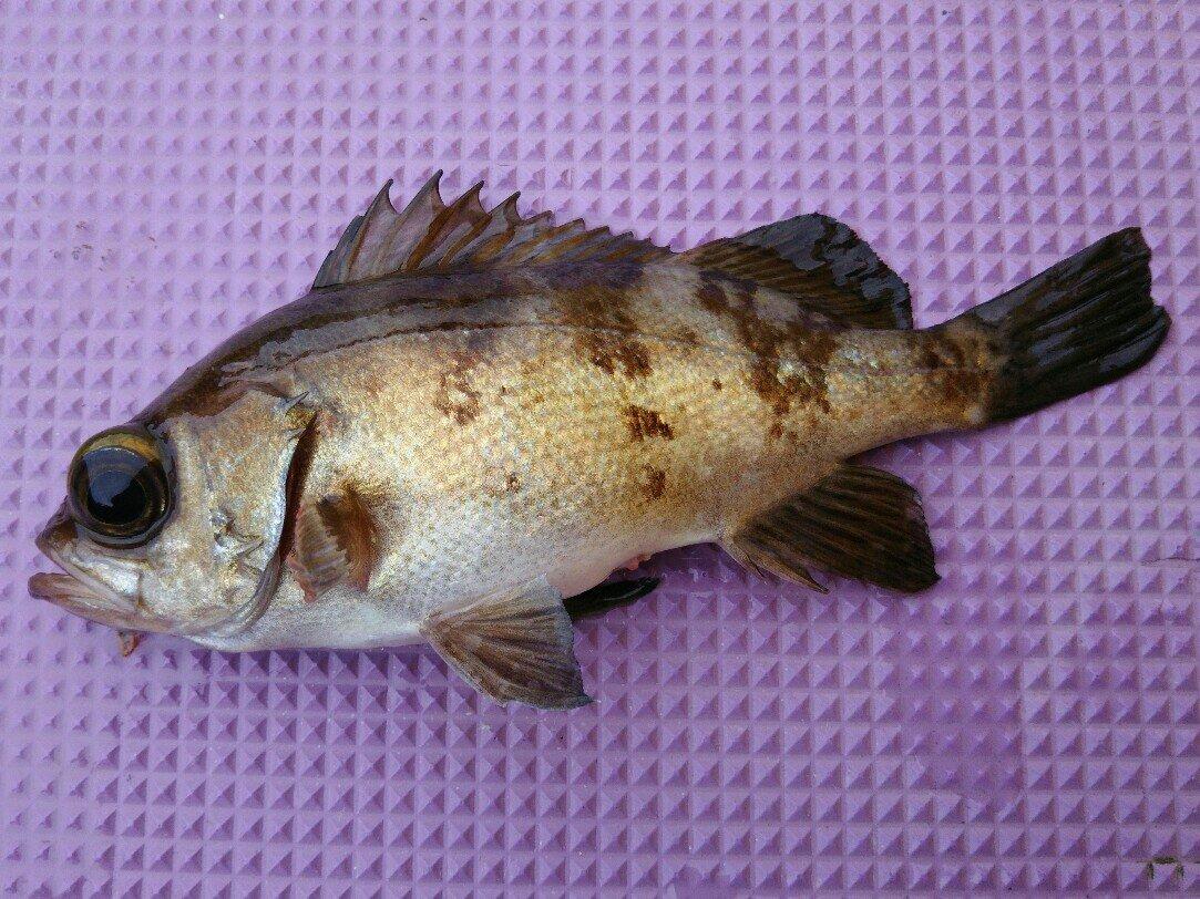 サトシさんの投稿画像,写っている魚はメバル