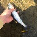 tatsukiさんの岩手県滝沢市での釣果写真
