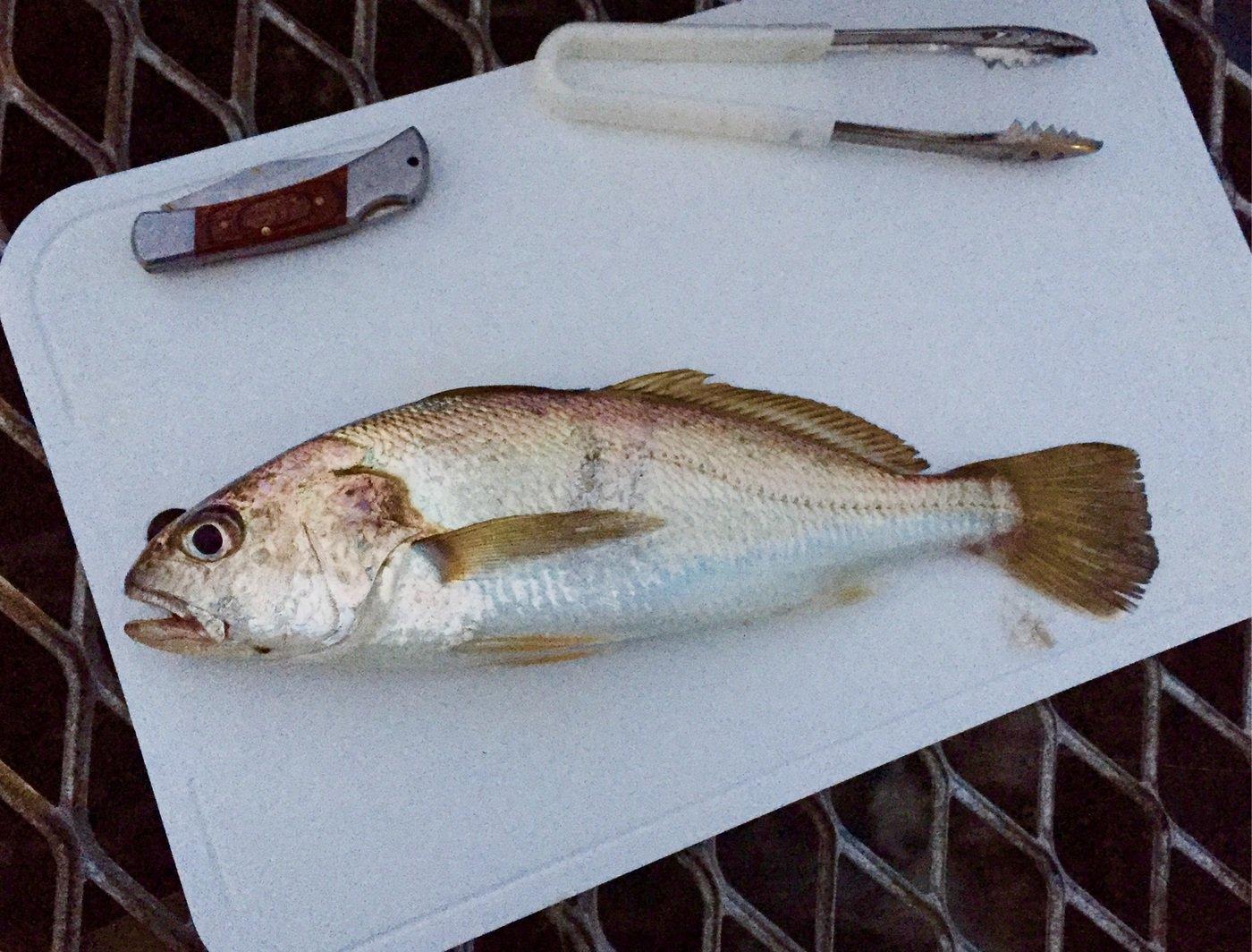 kreutsさんの投稿画像,写っている魚はイシモチ