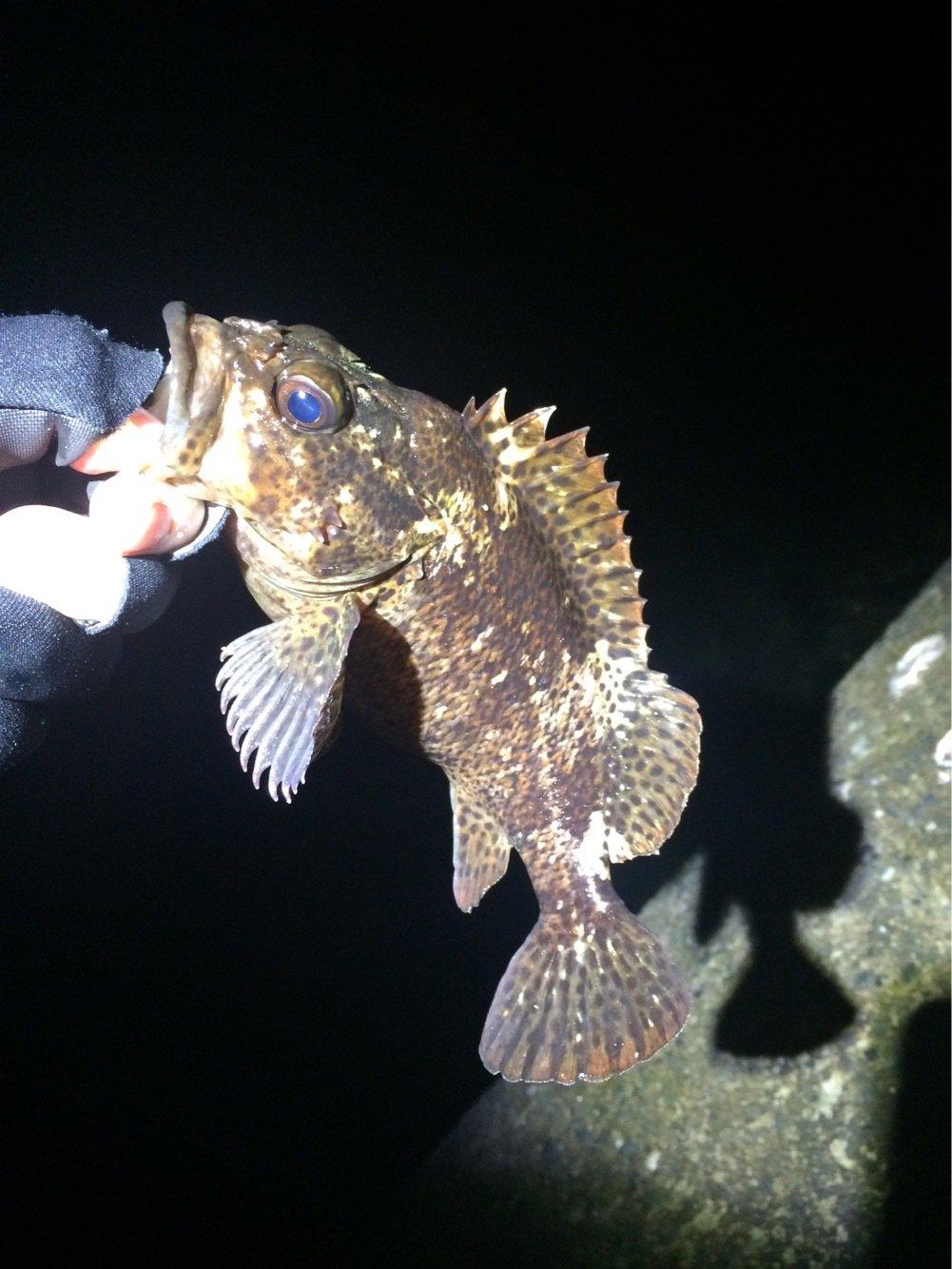まらかすさんの投稿画像,写っている魚はカサゴ