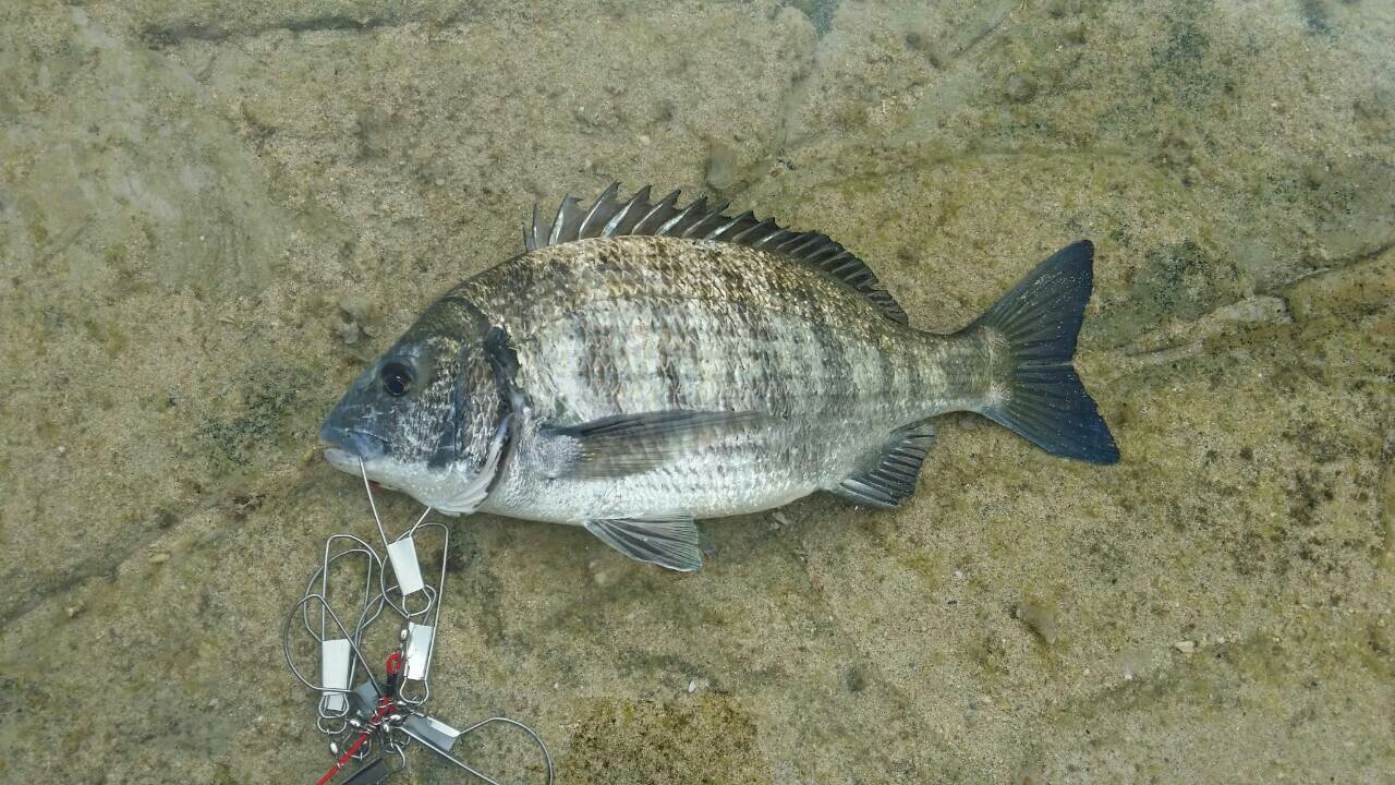 ぴーすけさんの投稿画像,写っている魚はクロダイ