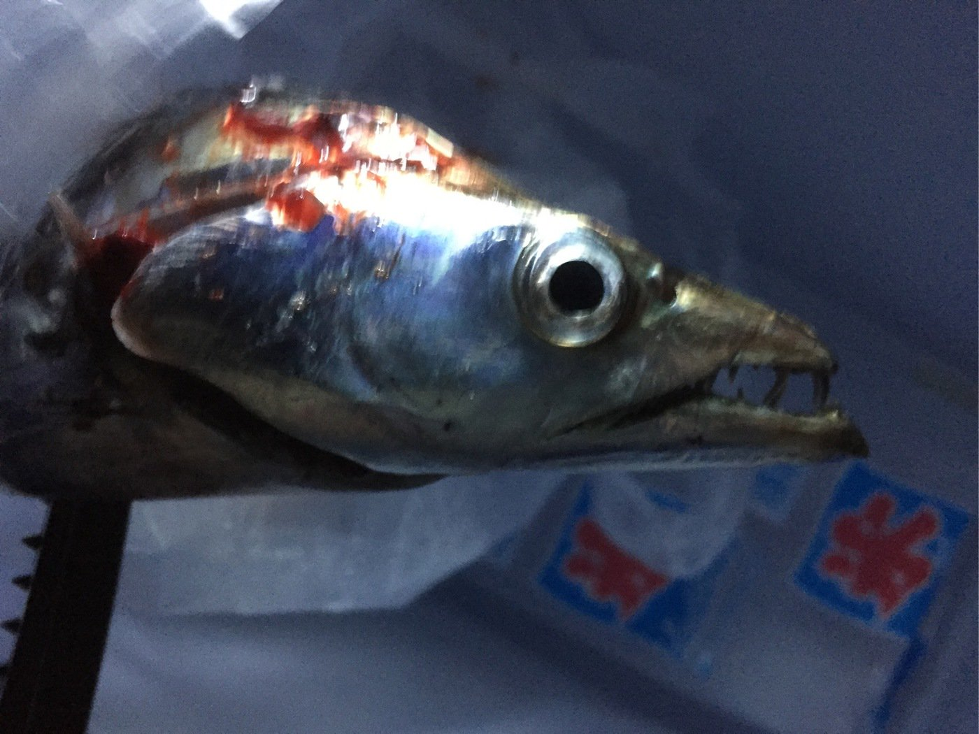 よしなり〜さんの投稿画像,写っている魚はタチウオ