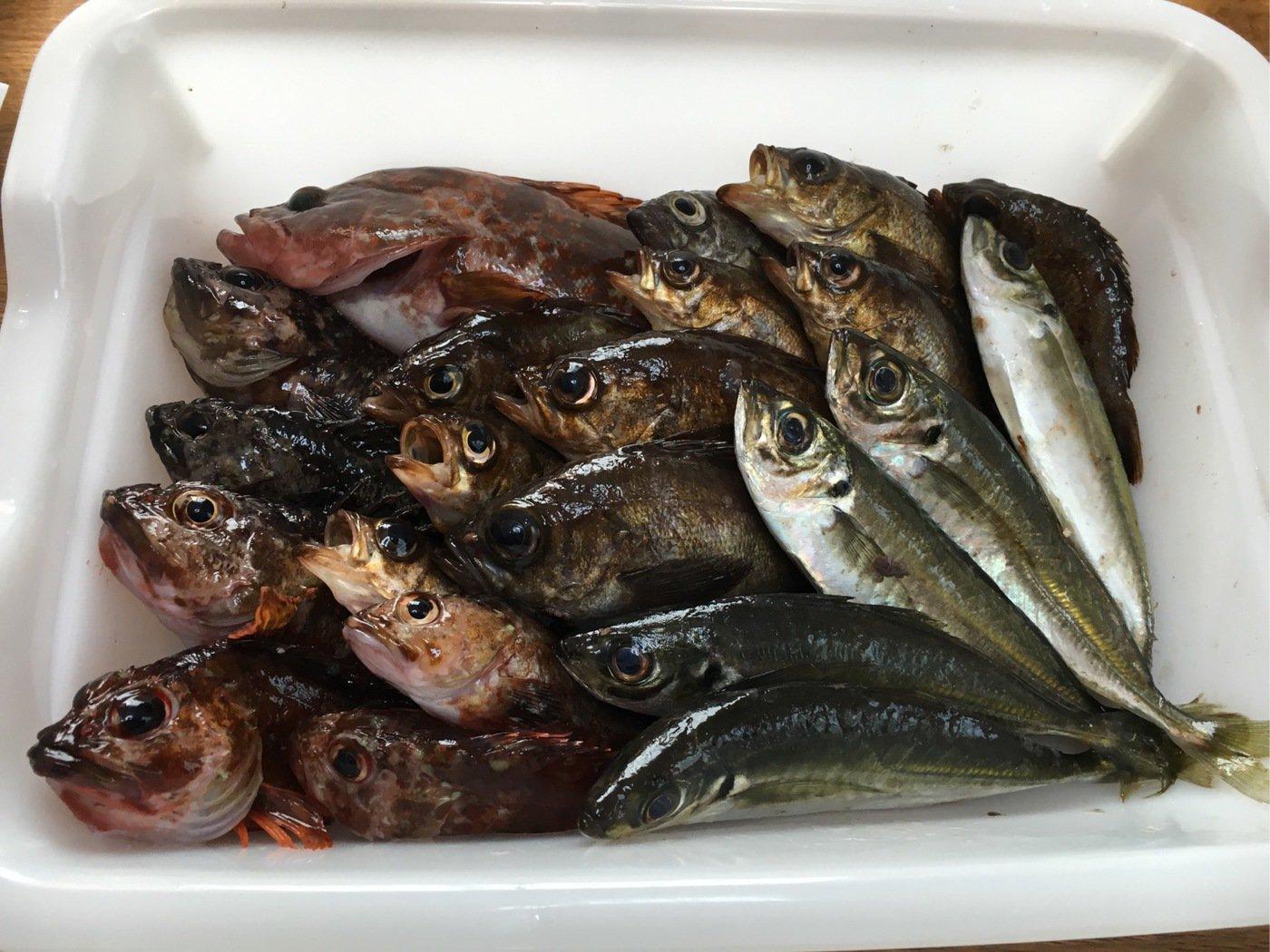 カイトウさんの投稿画像,写っている魚は