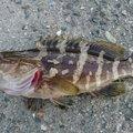 ハミーダさんの高知県でのクエの釣果写真