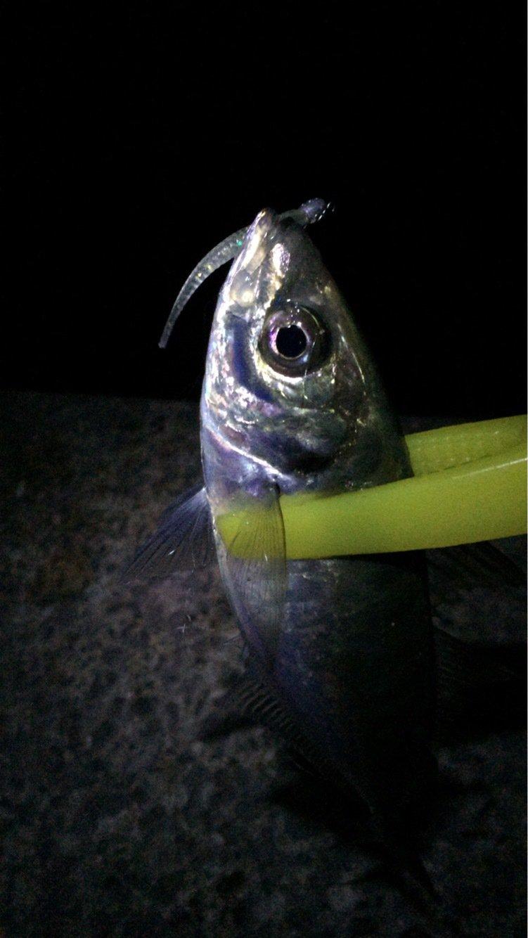 ごぼ天さんの投稿画像,写っている魚はアジ