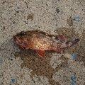 島美人さんの鹿児島県出水郡でのカサゴの釣果写真