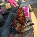 いりすさんの三重県四日市市でのタケノコメバルの釣果写真