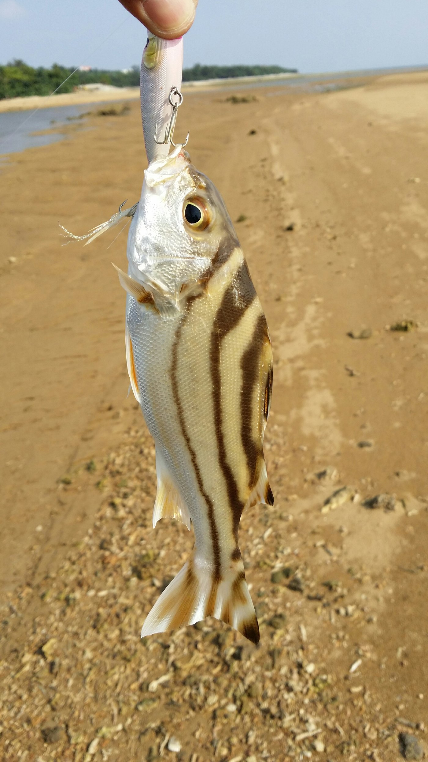 ぴーすけさんの投稿画像,写っている魚はコトヒキ