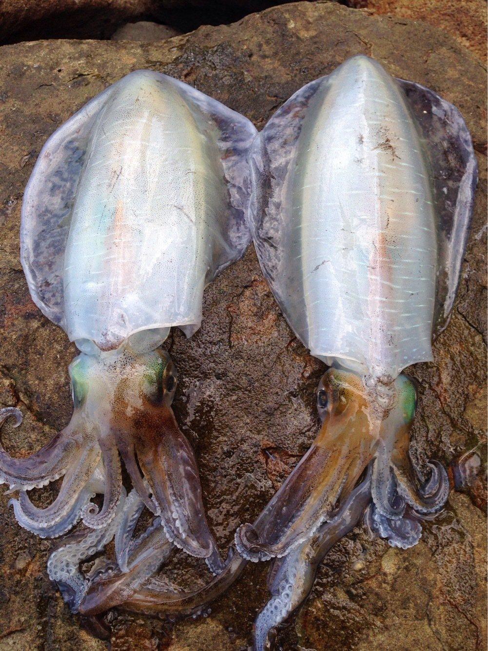 江頭和彦さんの投稿画像,写っている魚はアオリイカ