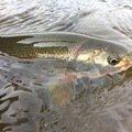 taketonbowさんの福井県勝山市での釣果写真