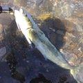 ユーリルさんの鹿児島県阿久根市でのシイラの釣果写真