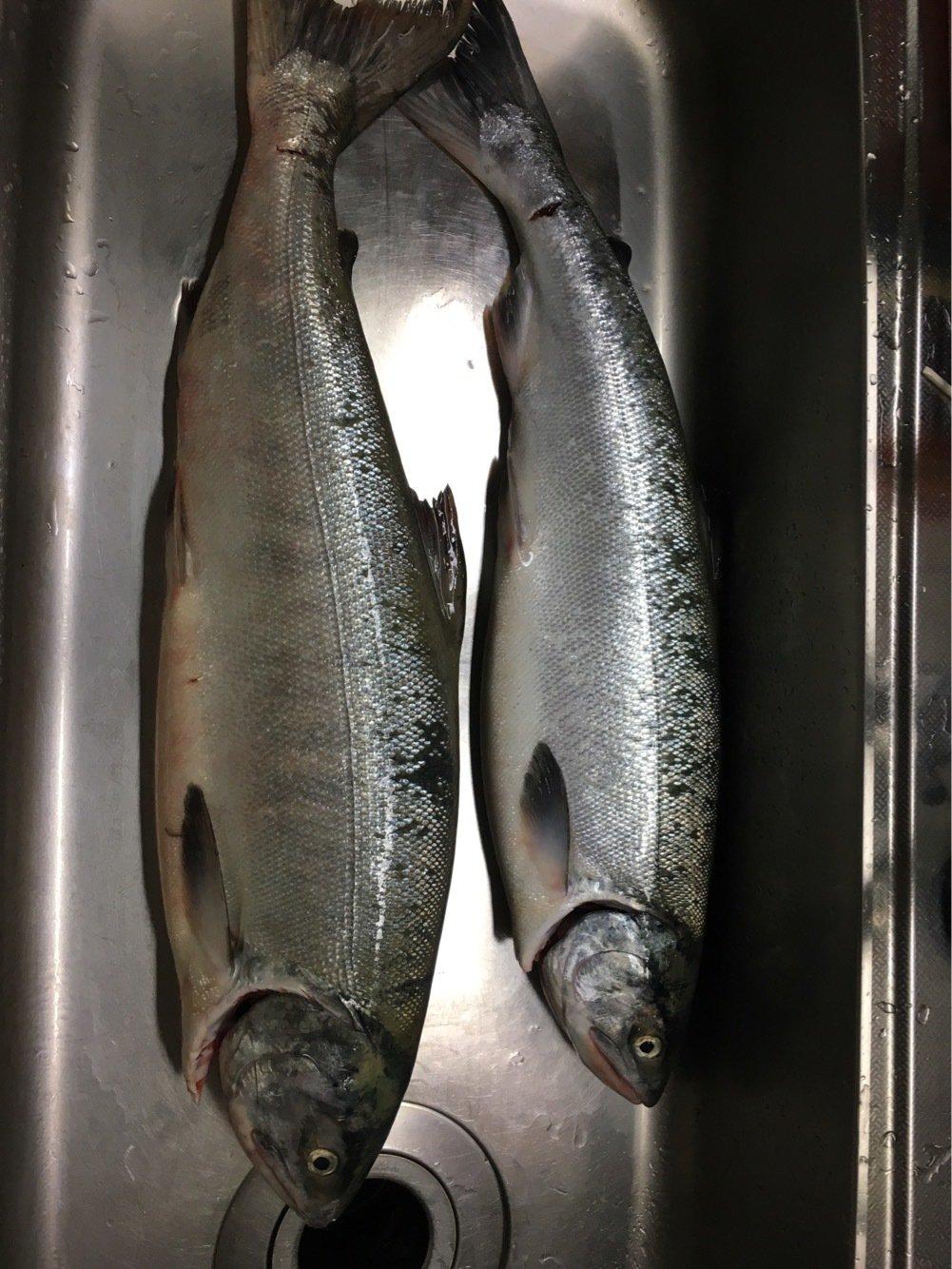 リュウさんの投稿画像,写っている魚はサケ
