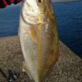 シナンジュさんの鹿児島県薩摩川内市でのカンパチの釣果写真