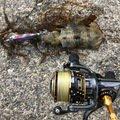 海なし県アングラーゆきさんの新潟県糸魚川市でのアオリイカの釣果写真