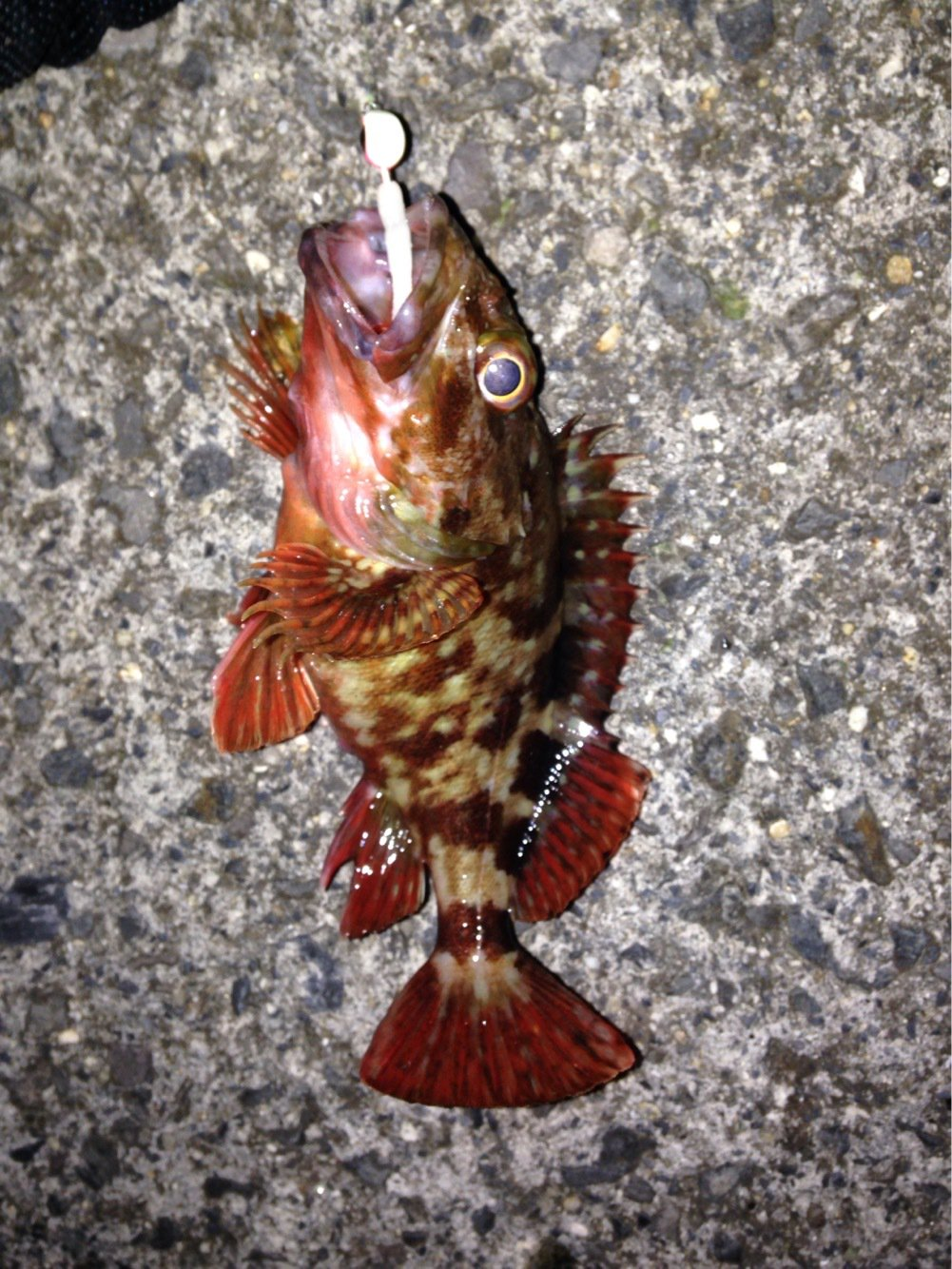 YUさんの投稿画像,写っている魚は
