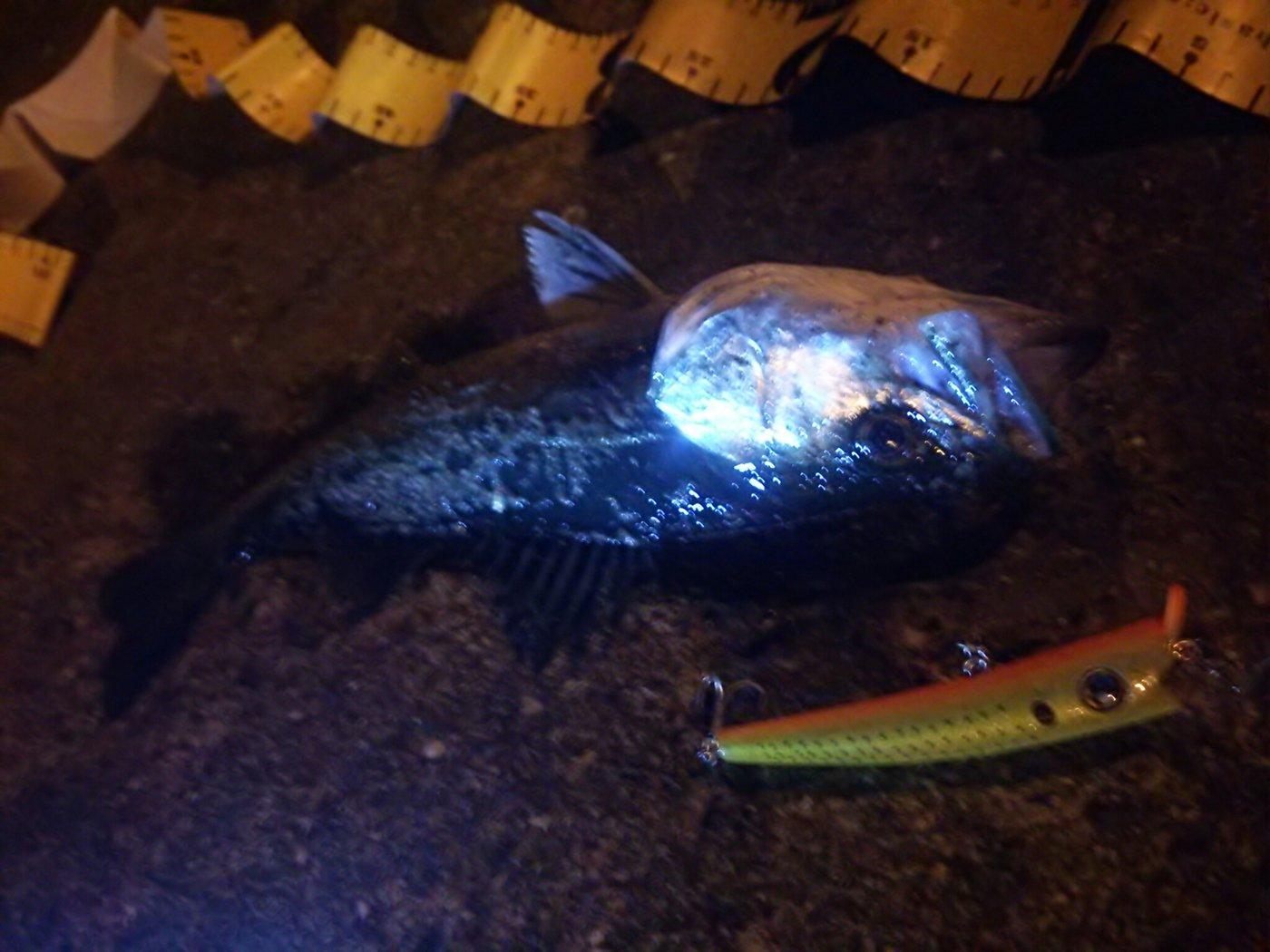 ショア小僧さんの投稿画像,写っている魚はスズキ