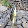ジミーさんの栃木県那須郡での釣果写真
