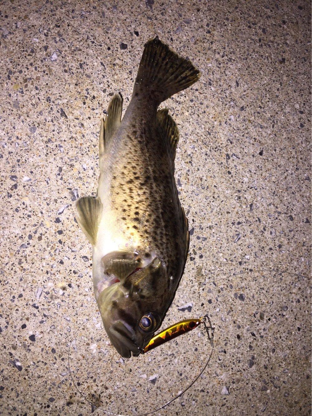 みつさんの投稿画像,写っている魚はムラソイ