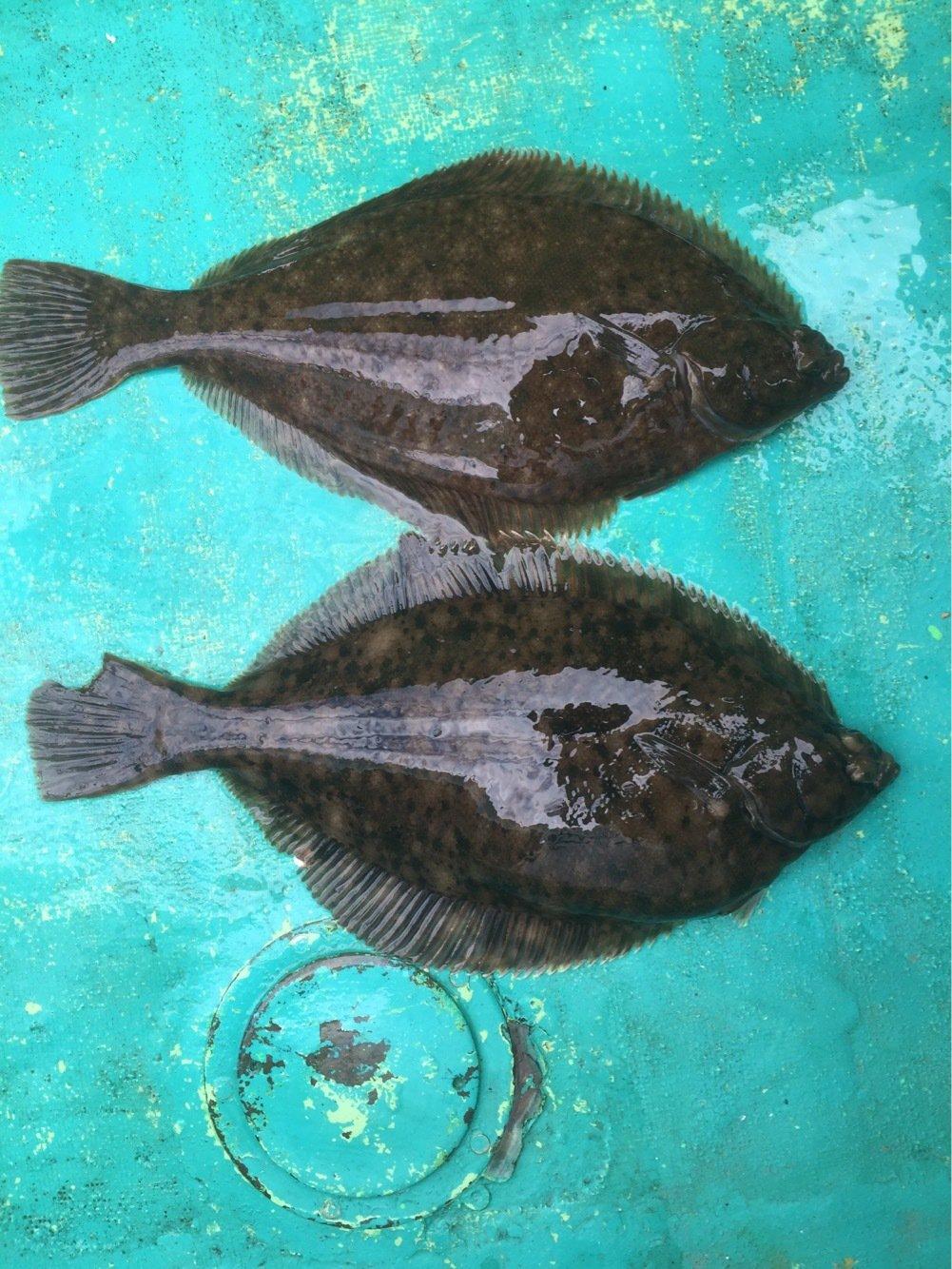 ハゼ男さんの投稿画像,写っている魚はマコガレイ