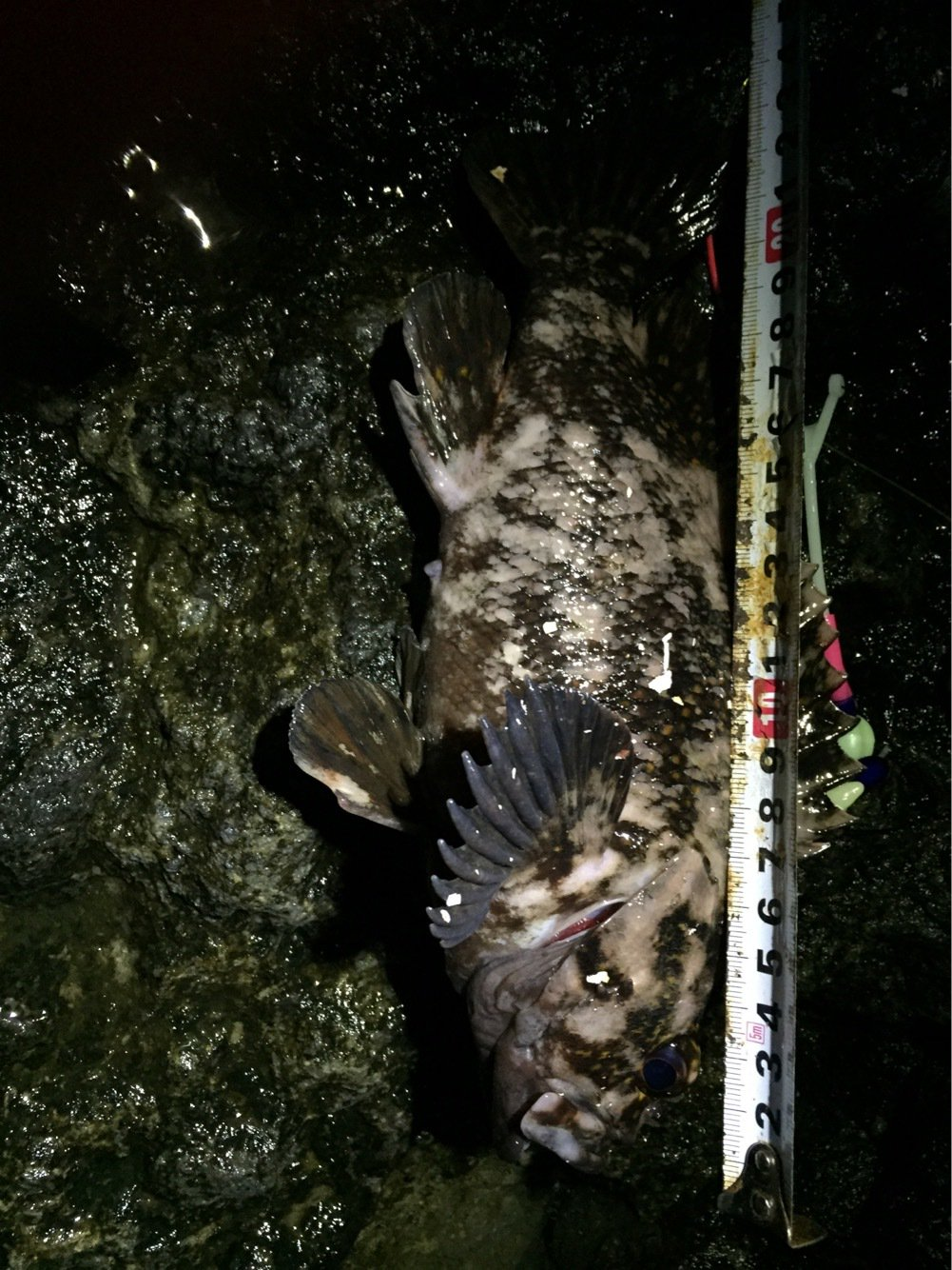 makashiさんの投稿画像,写っている魚はオウゴンムラソイ
