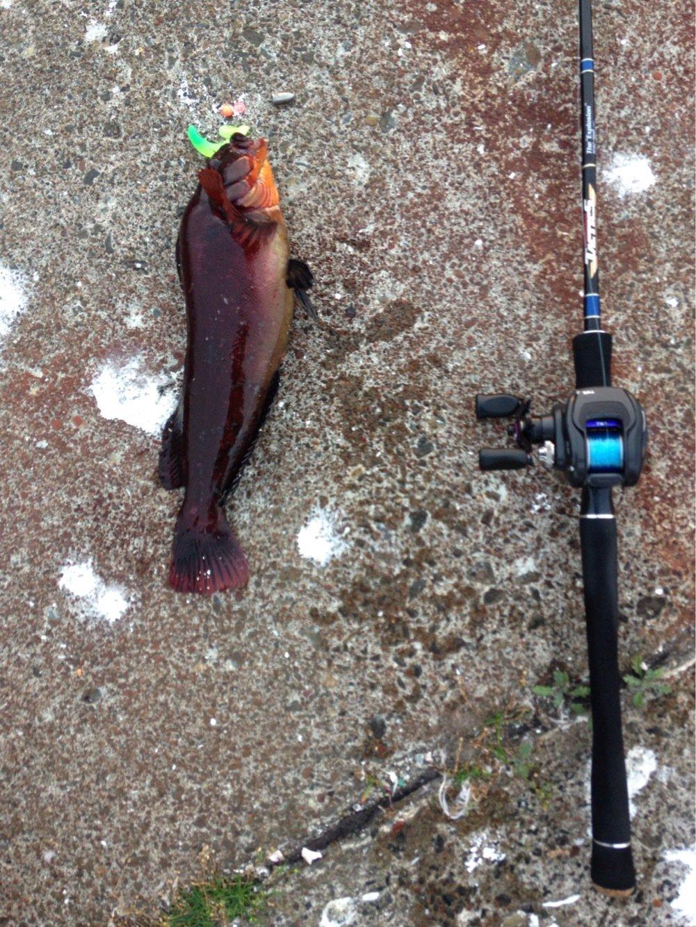 ガンズさんの投稿画像,写っている魚はアイナメ