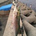 Kazuoさんの大阪府貝塚市でのサワラの釣果写真