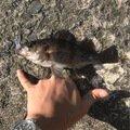 こいさんさんの青森県でのシロメバルの釣果写真