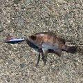 yaaamanさんの青森県でのシロメバルの釣果写真