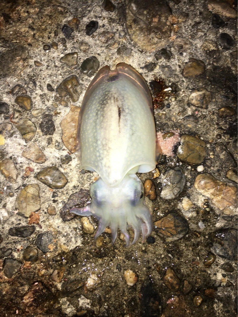 駄菓子屋強盗キートさんの投稿画像,写っている魚はコウイカ