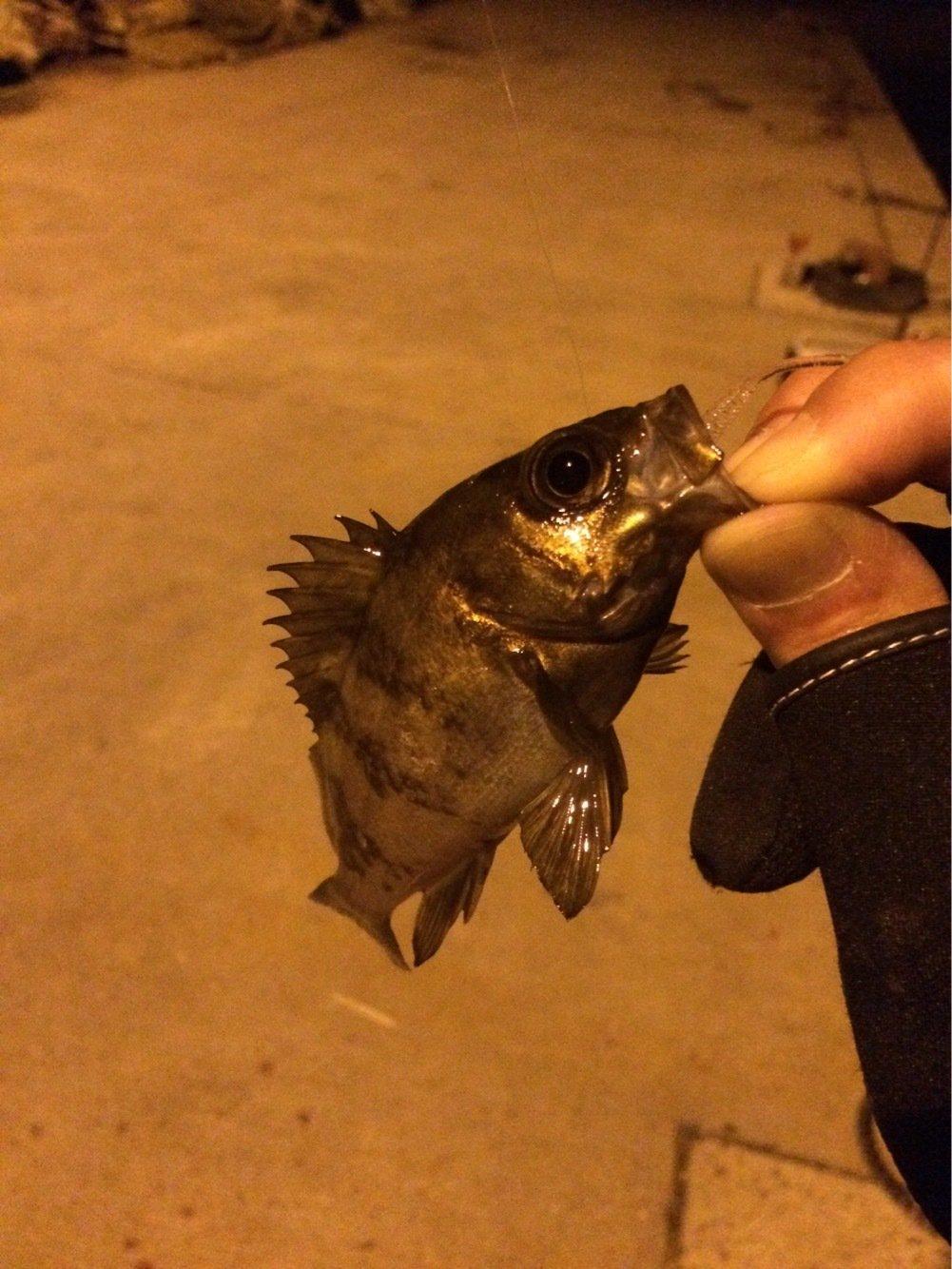 ぽんさんさんの投稿画像,写っている魚はカサゴ