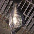 にこにこさんの茨城県ひたちなか市でのクロダイの釣果写真