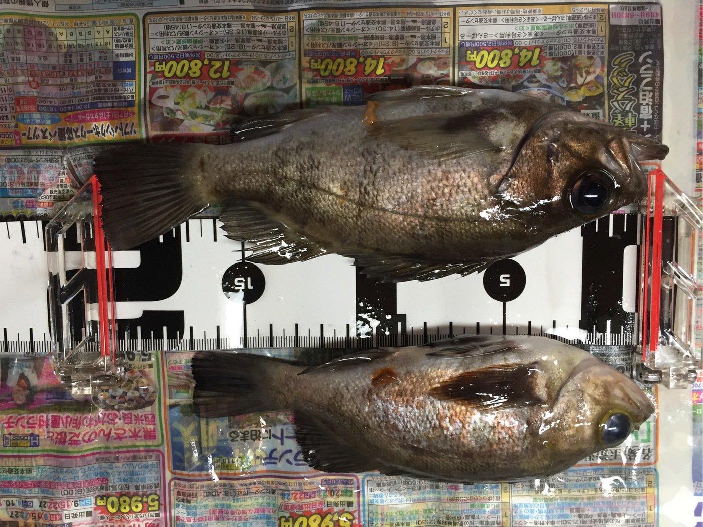 フルフルさんの投稿画像,写っている魚はメバル