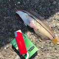 maha0910さんの広島県江田島市でのキュウセンの釣果写真