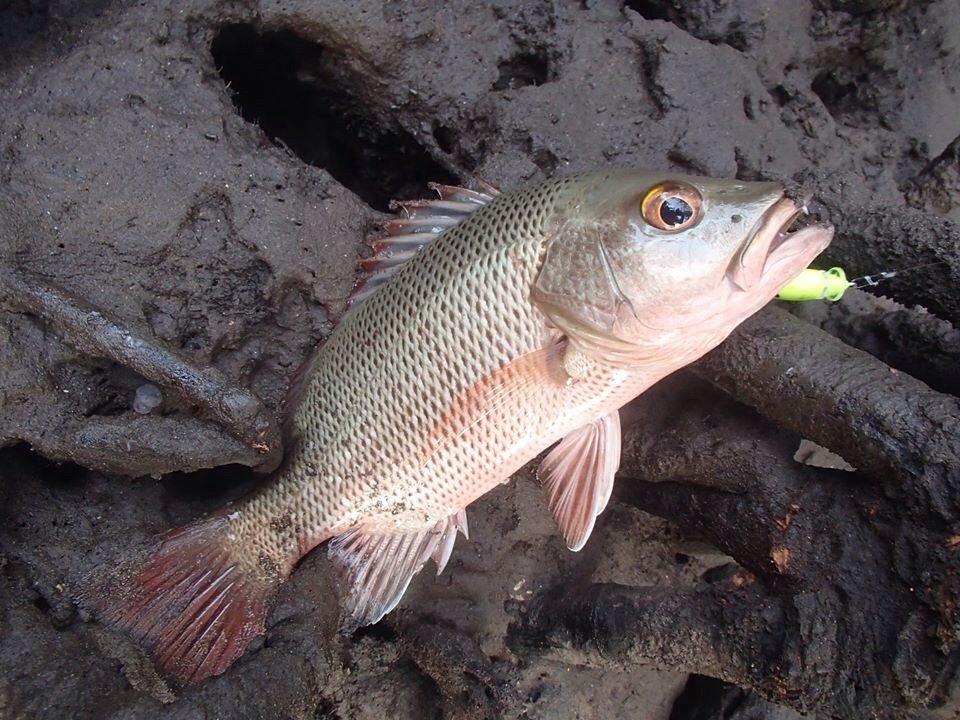 じゅんぬさんの投稿画像,写っている魚はゴマフエダイ