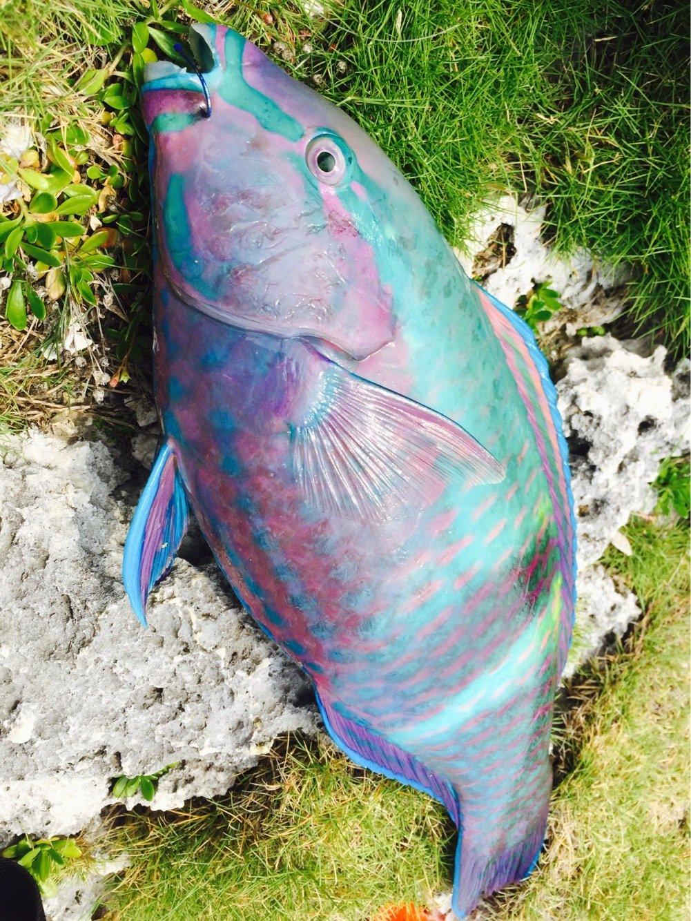 GUさんの投稿画像,写っている魚はブダイ