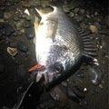 (´・Д・)」さんの静岡県焼津市でのキチヌの釣果写真