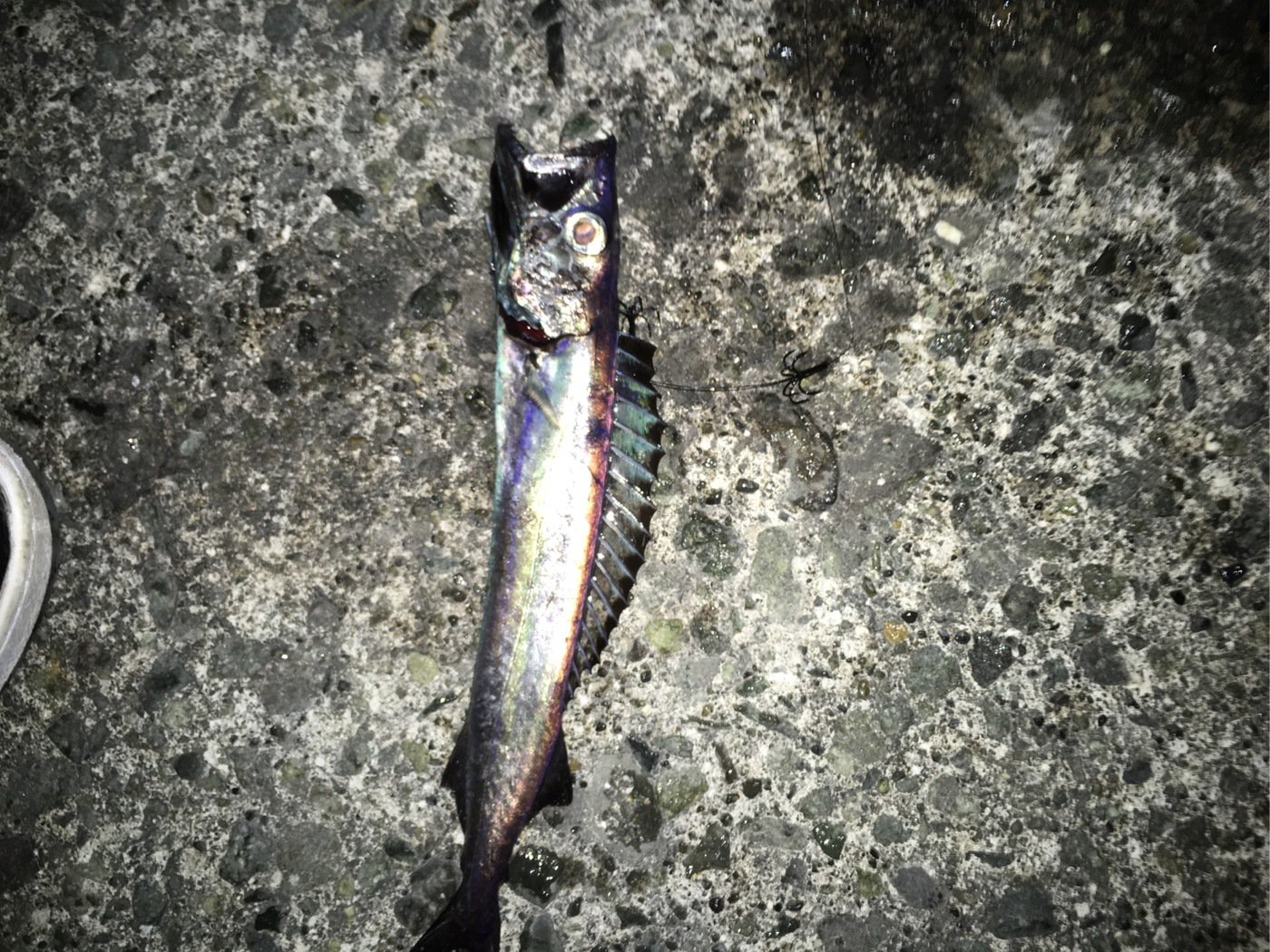 ヒロユキさんの投稿画像,写っている魚は