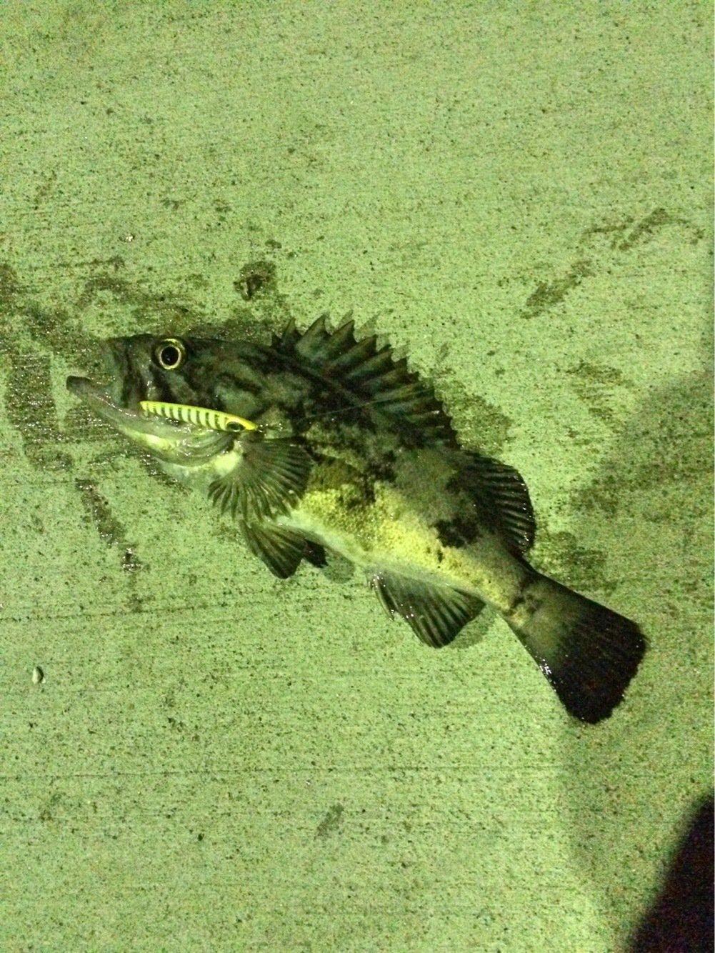ヤギ兄さんの投稿画像,写っている魚は