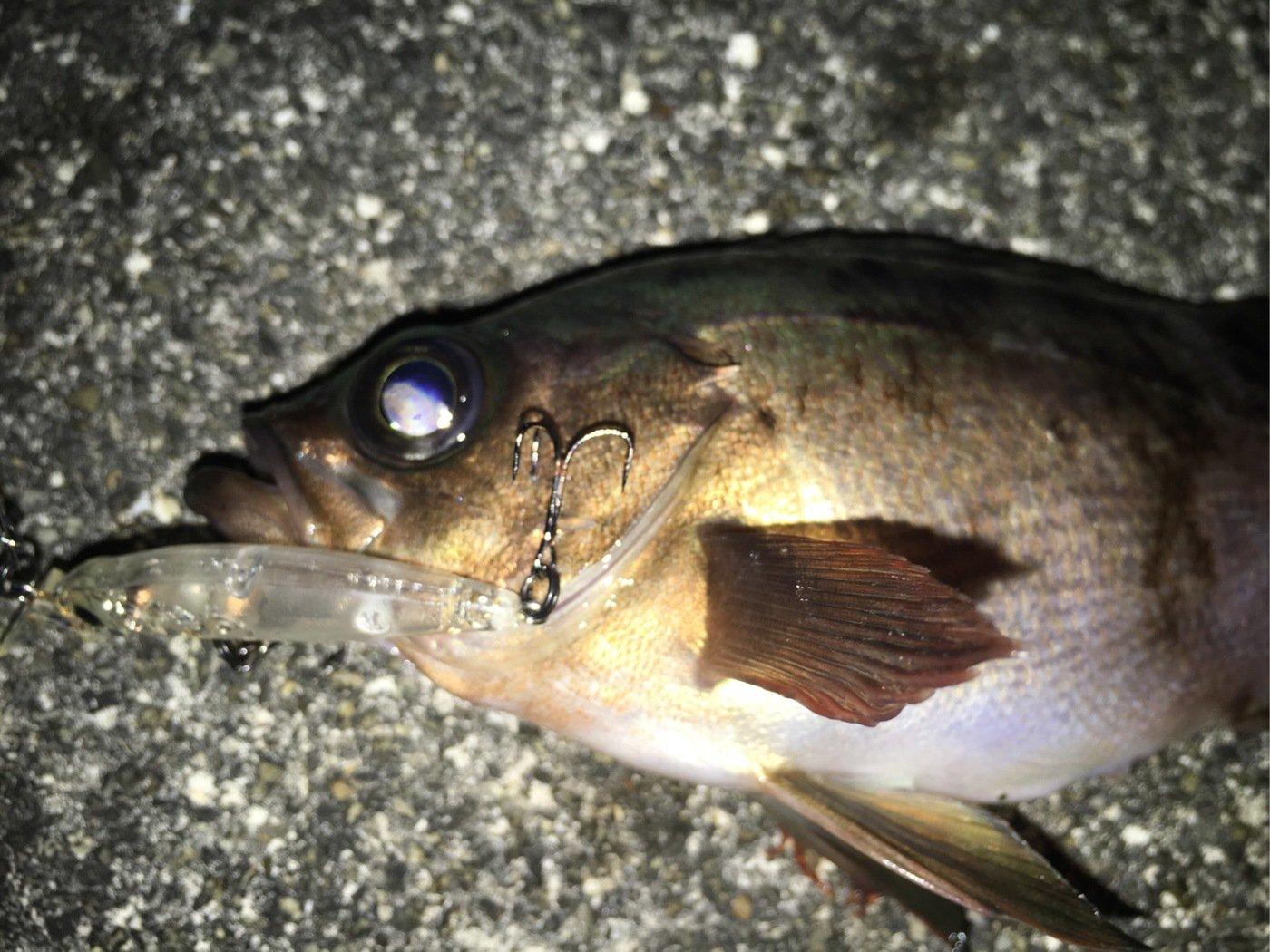 メバルくんxxさんの投稿画像,写っている魚は