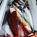 誠磯谷さんの静岡県湖西市でのマサバの釣果写真