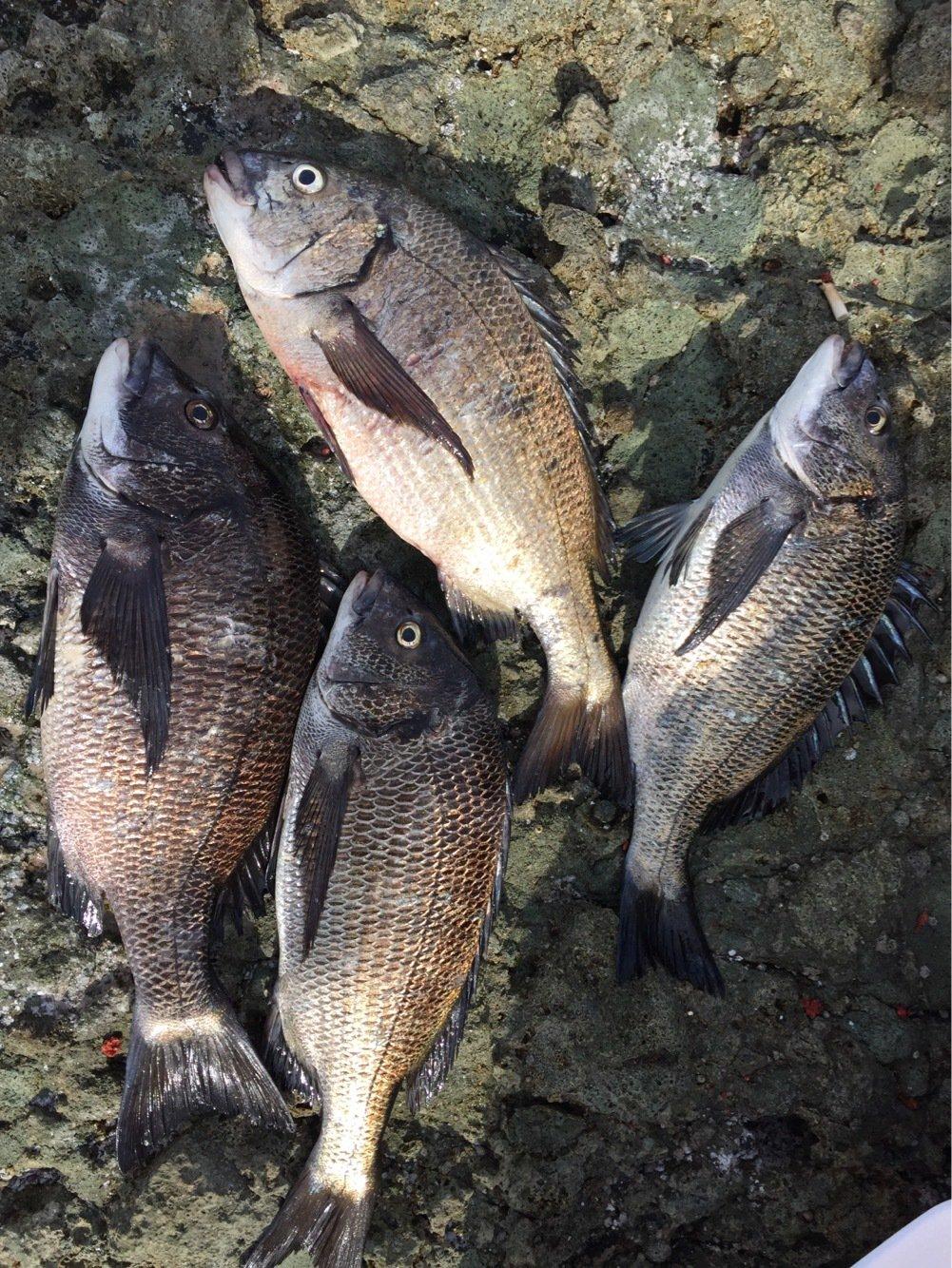 弥栄FC 小池さんの投稿画像,写っている魚はクロダイ
