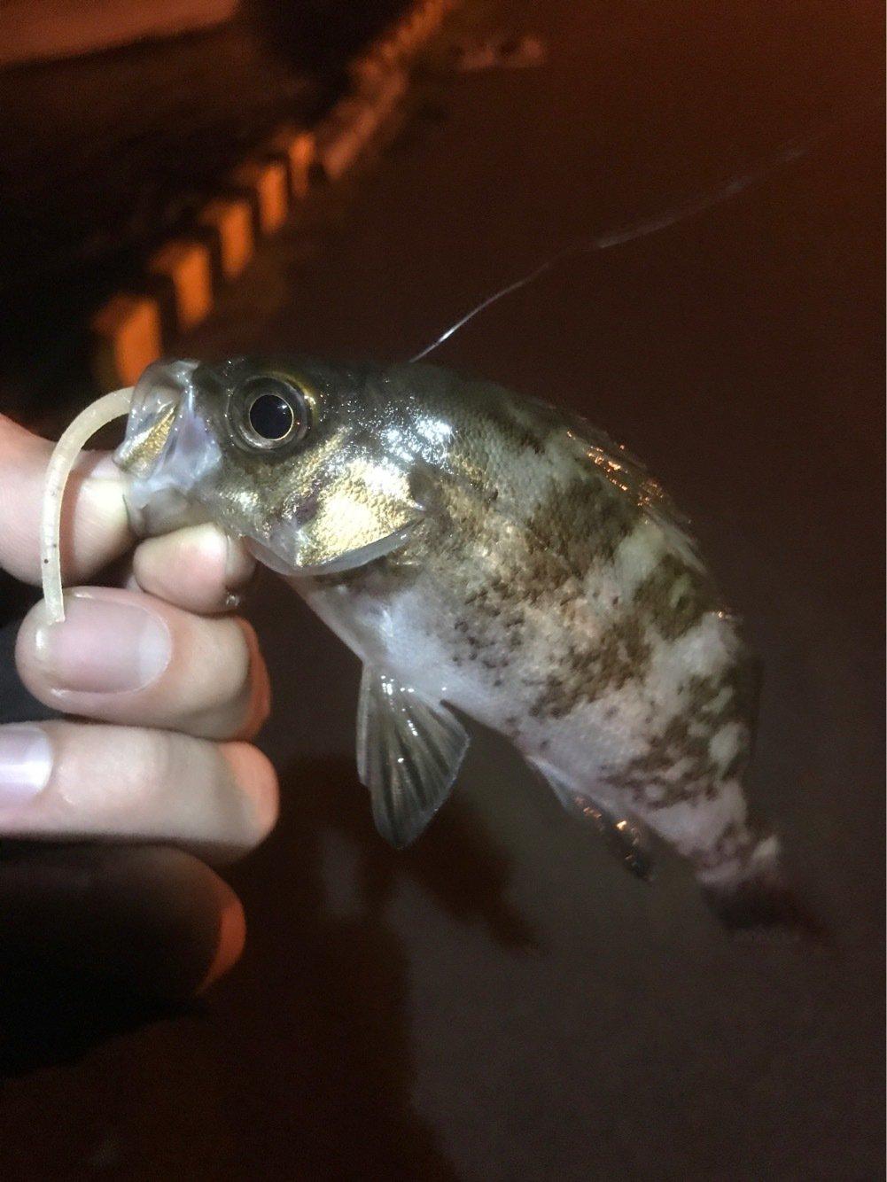 こいさんさんの投稿画像,写っている魚はシロメバル