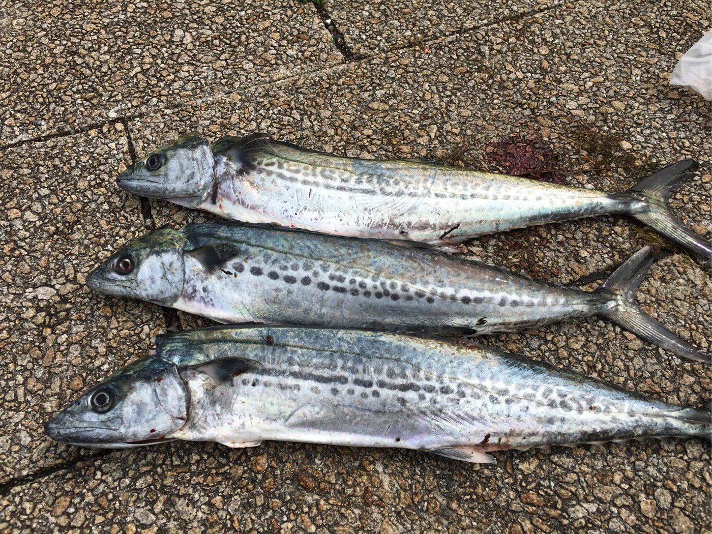 B29さんの投稿画像,写っている魚はサワラ