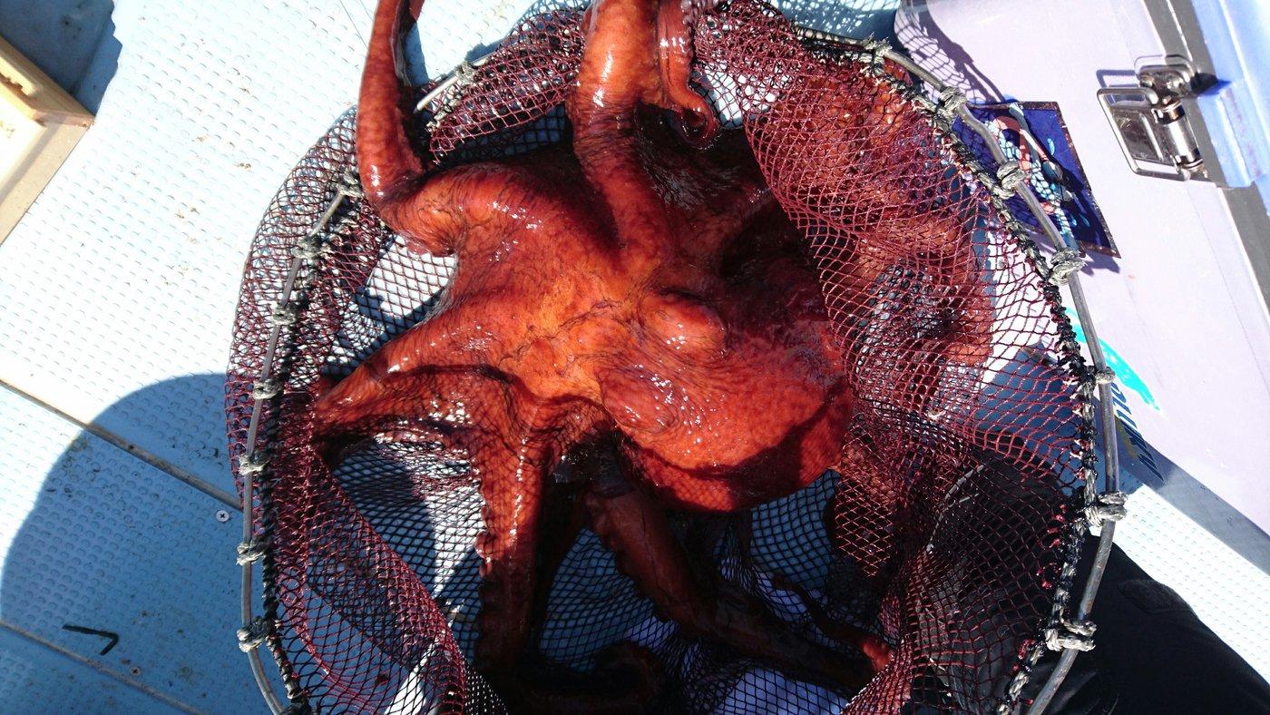 めかぶさんの投稿画像,写っている魚はマコガレイ