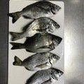 マエビさんの千葉県成田市での釣果写真