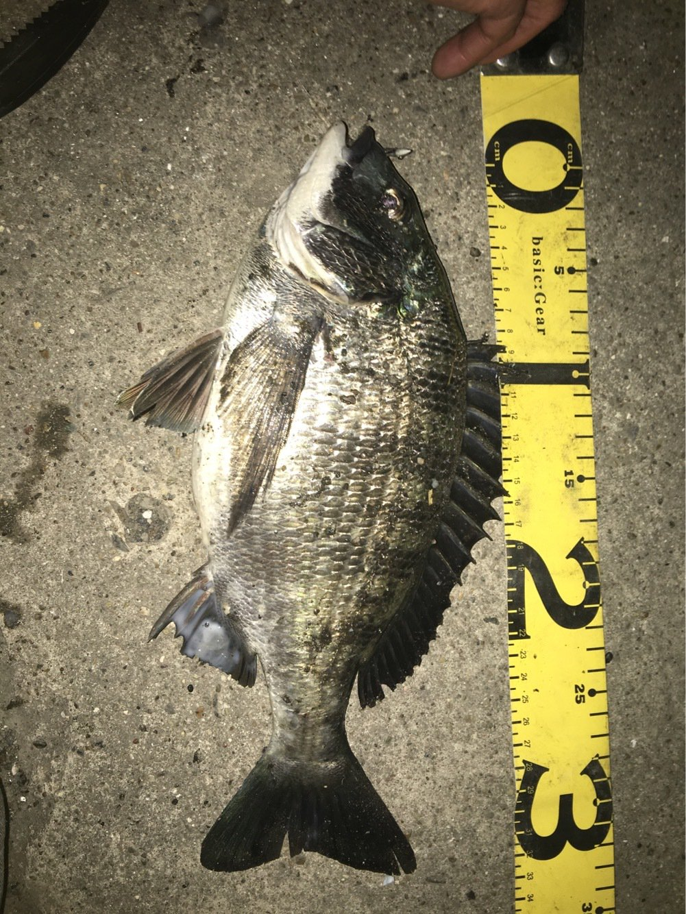 遊歩さんの投稿画像,写っている魚はクロダイ