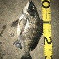 遊歩さんの愛知県知多市でのクロダイの釣果写真