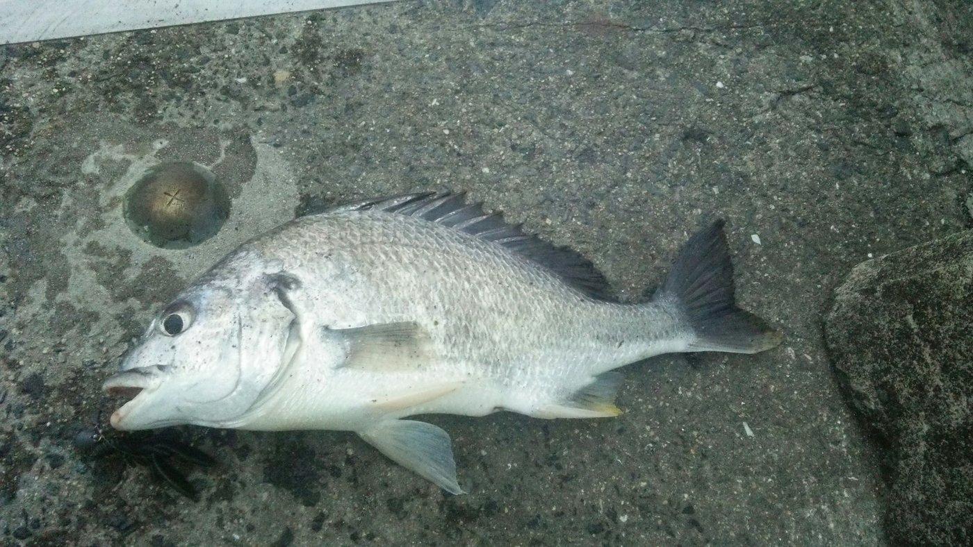 SaTさんの投稿画像,写っている魚はキチヌ