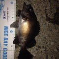 ビギにゃーさんの青森県北津軽郡でのメバルの釣果写真